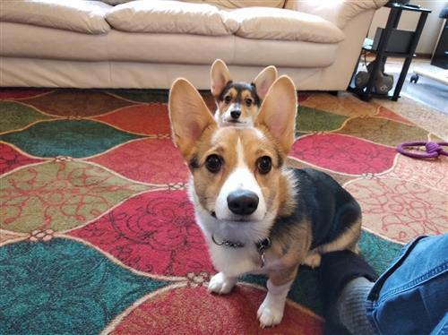 These are Jack (big) and Toast (small), my corgis